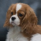 Assurance chien cavalier king charles