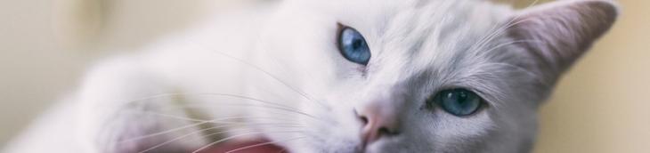 Les chats stérilisés seraient plus heureux