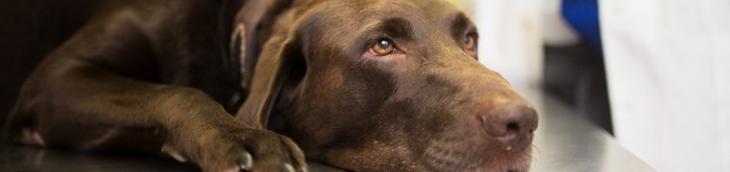 Un chien qui tombe malade juste après sa vente : le vendeur ne peut être tenu pour responsable