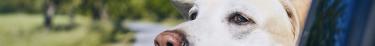 Les attaques de chiens se multiplient alors que la possession d'animaux dangereux est réglementée
