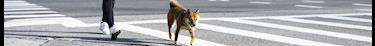 Les défenseurs des animaux condamnent l'utilisation de chiens pour contourner les règles du confinement