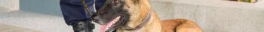 Un organisme britannique envisage de dresser des chiens pour détecter les porteurs du coronavirus