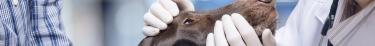 Les vétérinaires québécois sont rarement aptes à évaluer la dangerosité des chiens