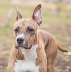 Assurance American staff terrier