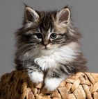 Assurance chat maine coon