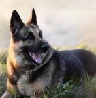 Assurance chien berger allemand