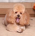 Assurance chien caniche