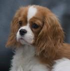 Assurance chien cavalier king charles
