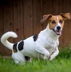 Assurance chien jack russell