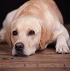 Assurance chien labrador