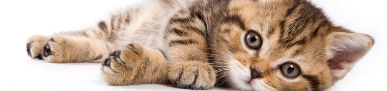 chat animal favori francais