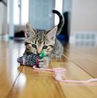 Les chats domestiques du Nouveau-Brunswick pourront aussi garder leurs griffes