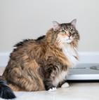 Les chats sont de plus en plus touchés par des problèmes d'obésité