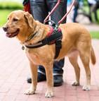 Les chiens pour diabétiques préviennent les crises d'hypoglycémie