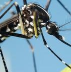 Chikungunya - moustique tigre