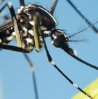 extermination moustiques Aedes aegypti