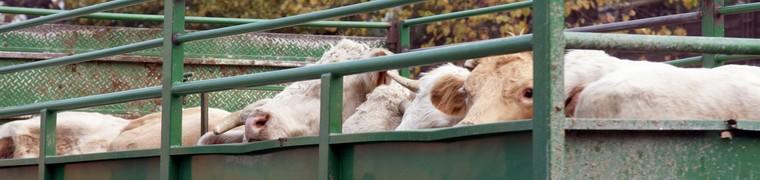 Le Parlement européen durcit les règlementations en matière de transport d'animaux vivants