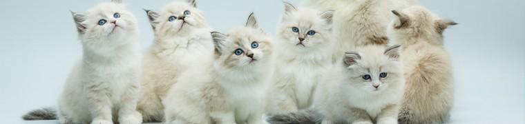 Premier clonage de chat réussi par Sinogene Biotechnology en Chine