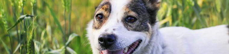 Protéger les animaux de compagnie contre les épillets
