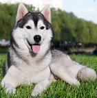 Races de chien officielles (SCC)